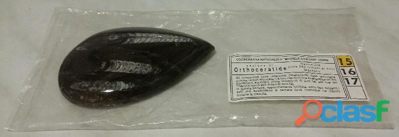 Orthoceratide sezione di fossile del paleozoico, cm.10x7 matrice levigata con certificato