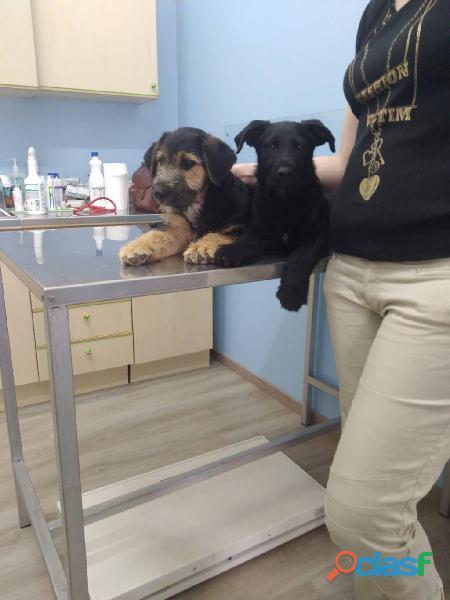 Regalo 2 splendidi cuccioli incrocio barboncino di taglia medio/piccola