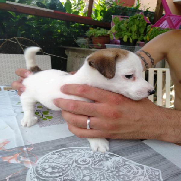 Jack Russell Terrier Cucciolo Animali Settembre Clasf