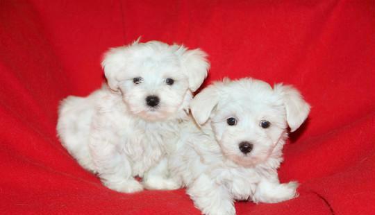 Maltese, cuccioli di taglia piccola cane maltese milano