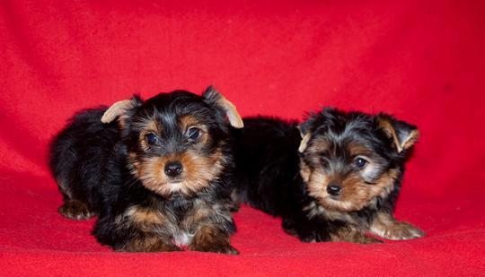 Yorkshire, cuccioli maschi di taglia piccola cane yorkshire