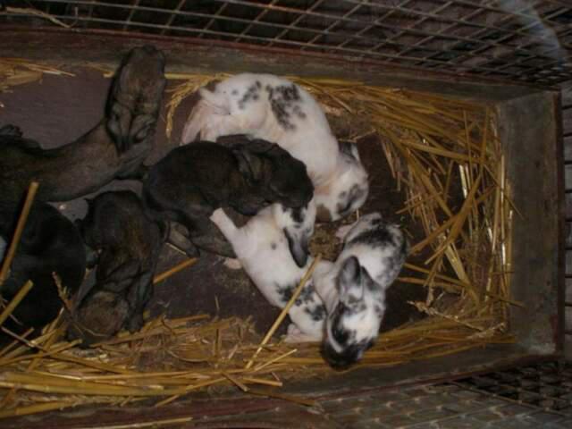 Conigli nostrani