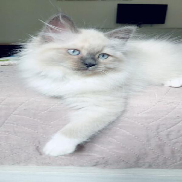 Cuccioli gatto siberiano