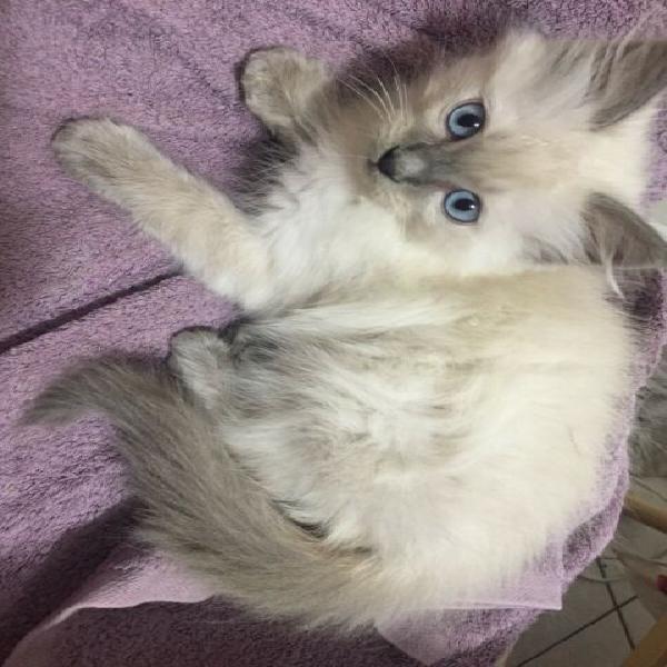 Cucciolo ragdoll maschio