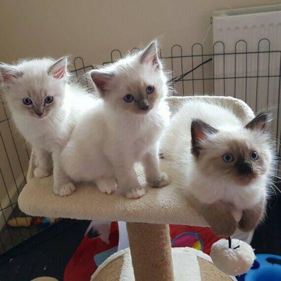 Simpatici gattini ragdoll registrati fvl2 (76 giorni) pronti