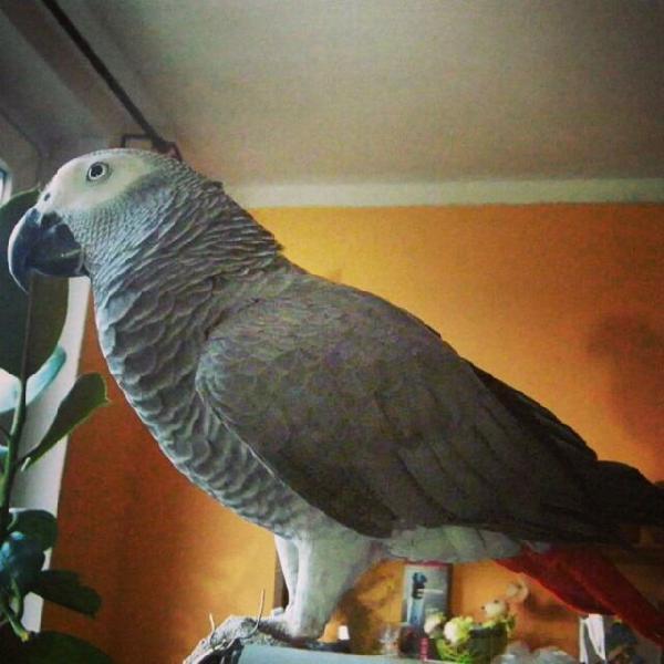 Pedigree african gray parrots f-m