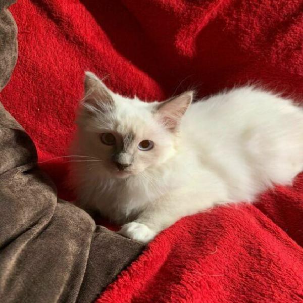 Gattini feline ragdoll di eta 78 giorni.con amore
