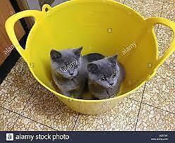 Soddisfacente gatto di british shorthair di * 1-gg *