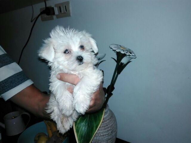 Cucciolini di maltese nano
