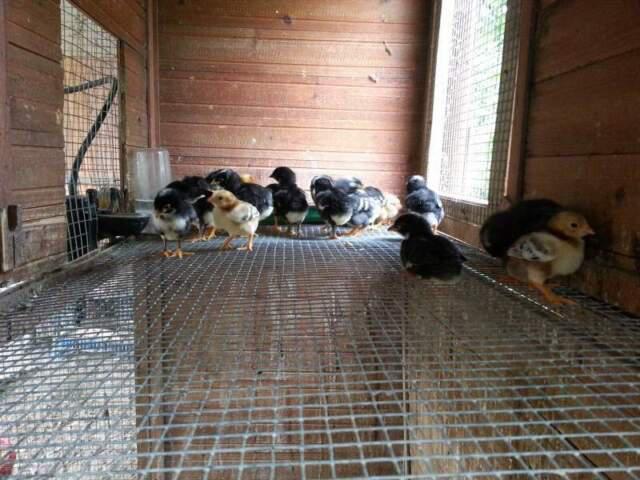 Pulcini di razza amrocks avicoli ornamentali galli e galline