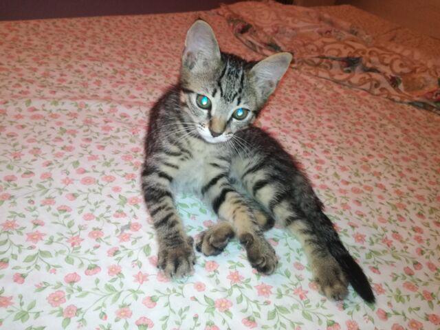Regalo gattina tigrata