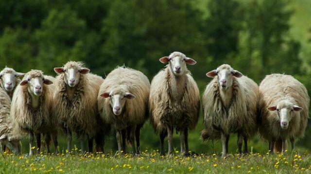 Pecore da latte razza sarda selezionata
