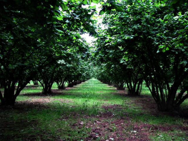Terreno agricolo noccioleto pianeggiante irriguo ha 7