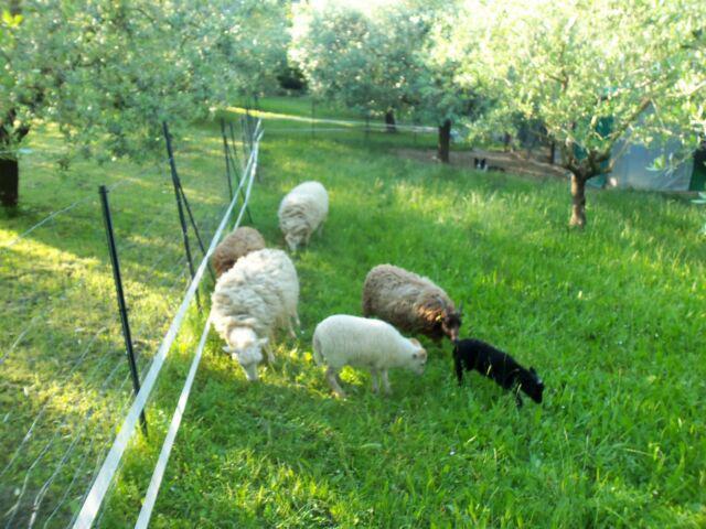 Pecore nane ouessant