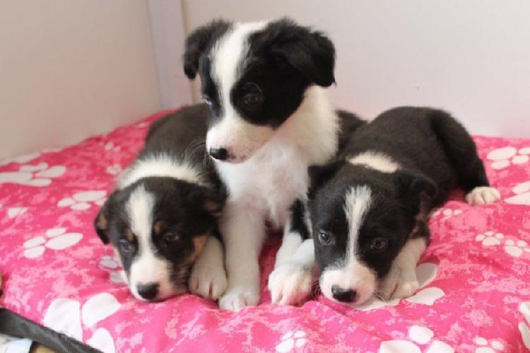 Regalo san bernardo cuccioli abbiamo due di questi cuccioli.