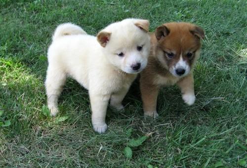 Simpatici cuccioli shiba inu per la nuova casa