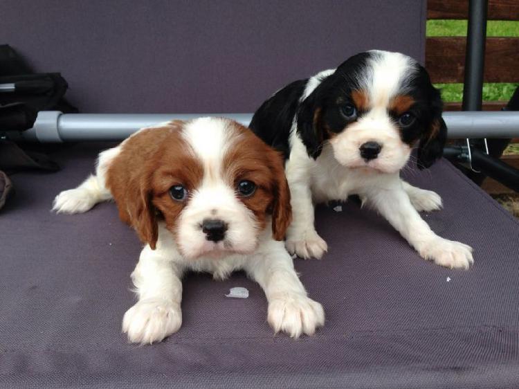 Cuccioli di cavalier king 3 maschi e 2 femmina con 2 vaccini