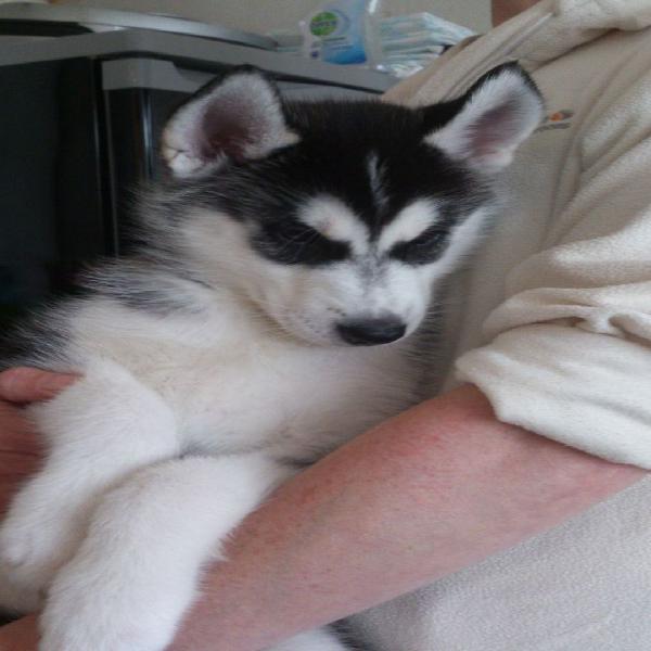 Cuccioli husky siberiano in adozione !!!!!