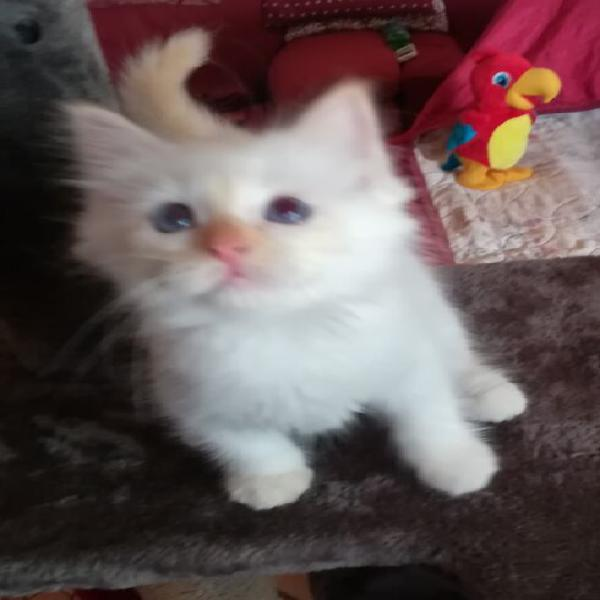 Gatti sacro di birmania con pedigree