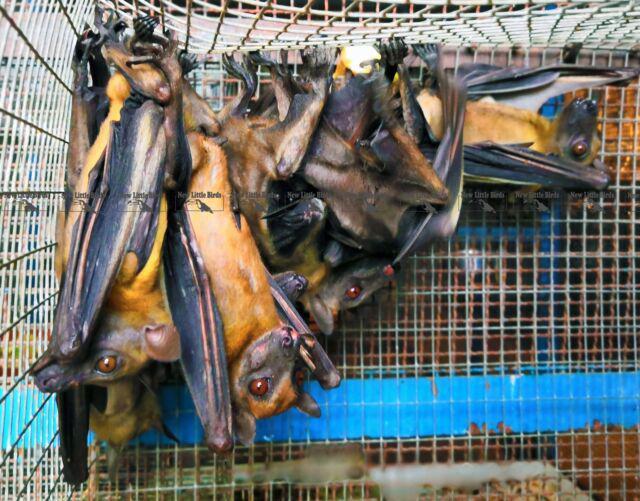 Pipistrello della frutta paglierino / eidolon helvum