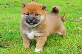 Abbiamo disponibili cuccioli di shiba inu