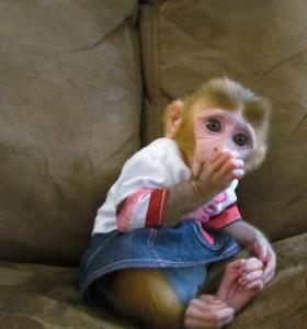 Splendida scimmie cappuccino neonati per l'adozione.