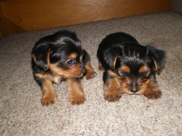 Yorkie cuccioli,