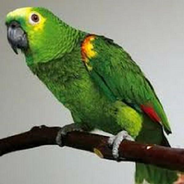 Pappagalli amazzonici pappagall amazon della razza della