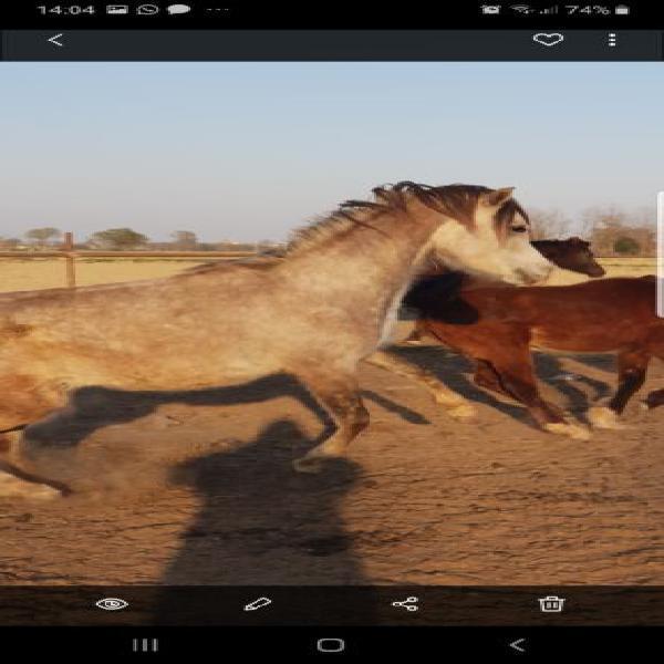 Psa cavalli arabi
