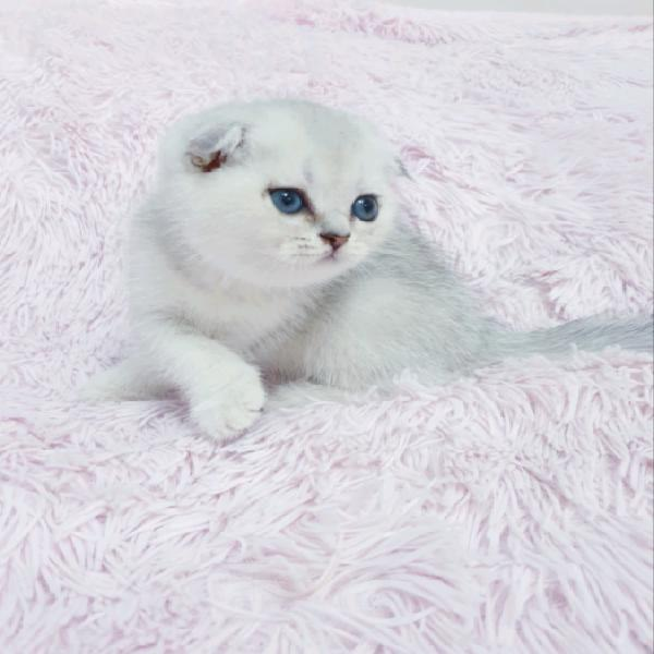 Scottish fold e straight