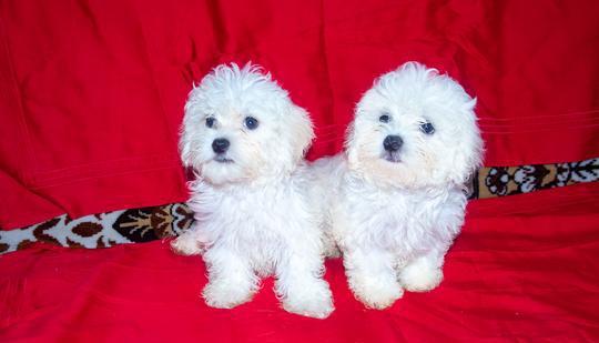 Maltese, cuccioli, taglia piccola cane maltese genova