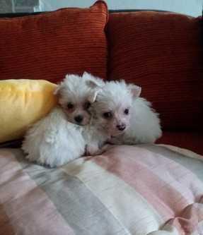 Maltese nano cuccioli cane maltese