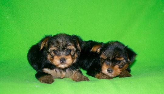 Yorkshire, cuccioli di taglia piccola cane yorkshire terrier