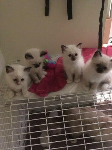 Bellissimi gatti birmans gattini s3 (2 mesi) con pedigree