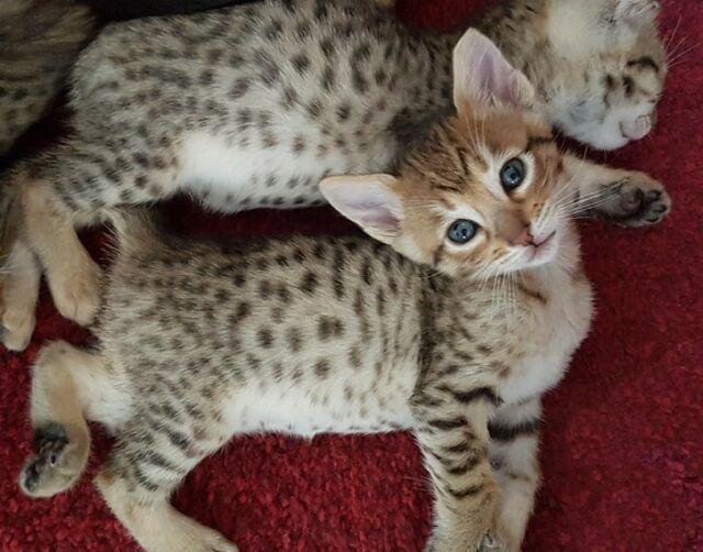 Bellissimi gatti gattini savana f5 (2 mesi) con pedigree