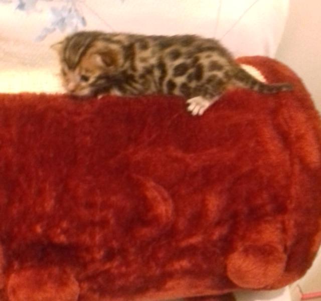 Cucciolotti di gatto bengala
