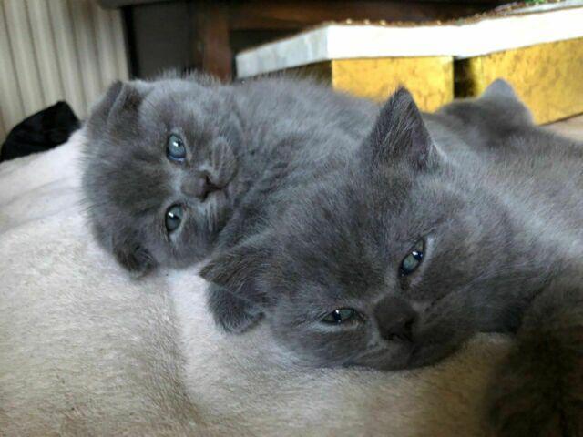 Simpatici gattini scottish fold s1 (2 mesi) con pedigree