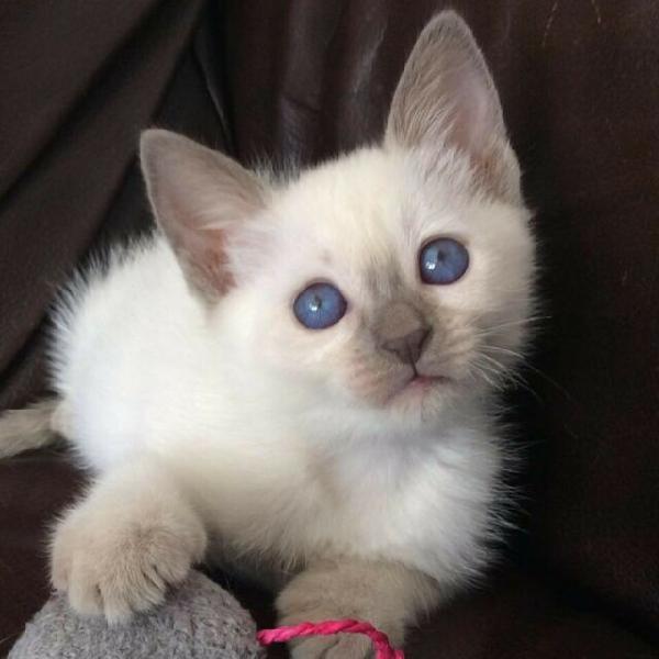 3! vaccini siamesi e balinesi i gatti hanno bisogno di una