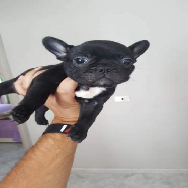 Bulldog francese maschietto nero