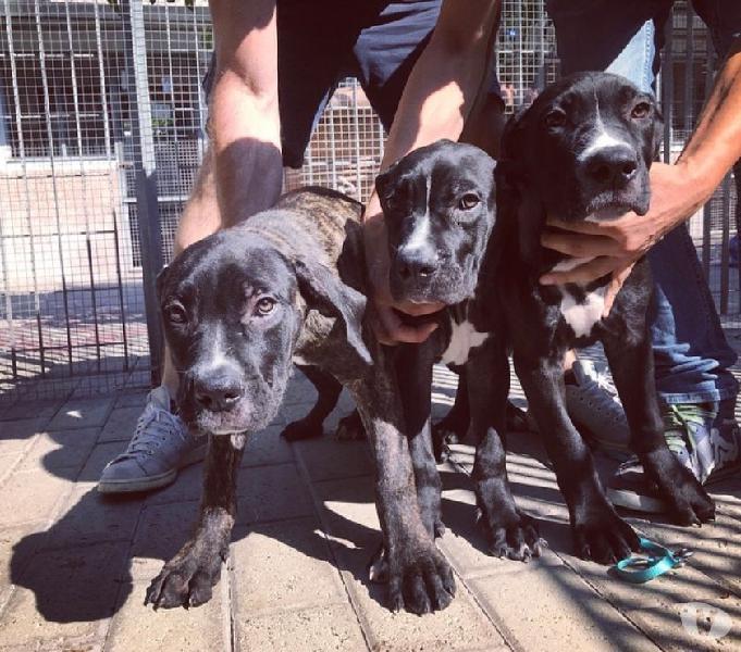 3 bellissimi fratellini cuccioli cane corso