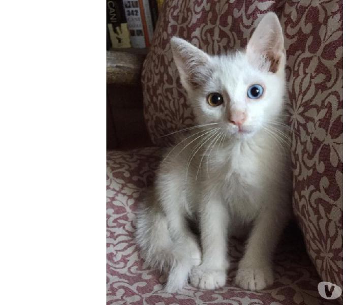 Bibi,stupendo gattino dagli occhi bicolore cerca casa
