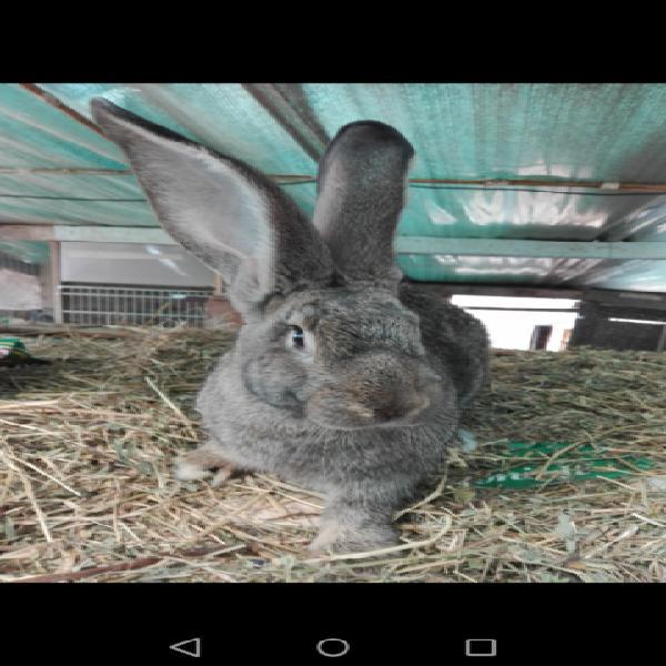 Conigli razza gigante di fiandra