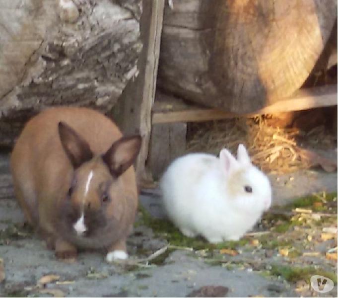 Coniglietti nani da compagnia