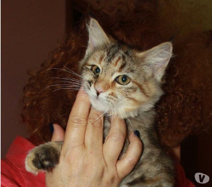 Cuccioli di gatto siberiano