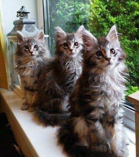 Gattino di tre maine coon pedigree anfi e due vaccinazioni