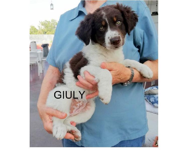 Giuly e giorgy cucciole mix border collie