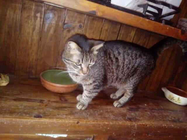Grigetta 6 anni dolce e compatibile con altri gatti