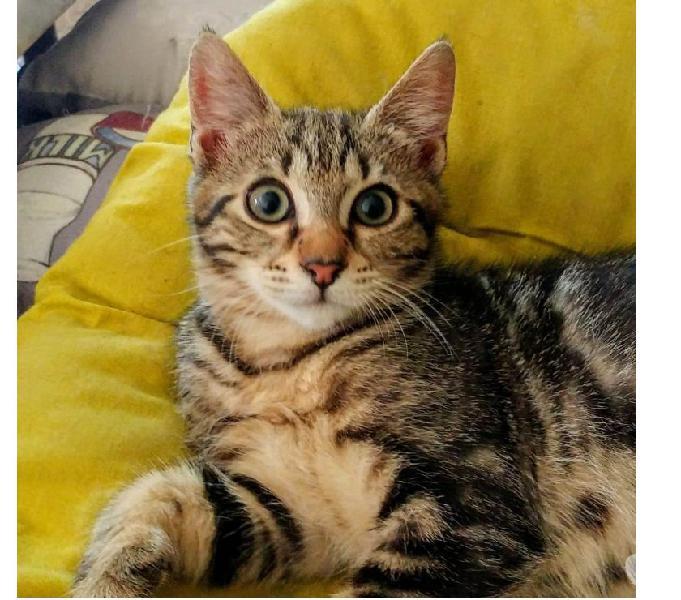 Pinta, 3 mesi, bellissima e gioiosa gattina