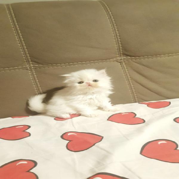 Persiano ipertipico bianco