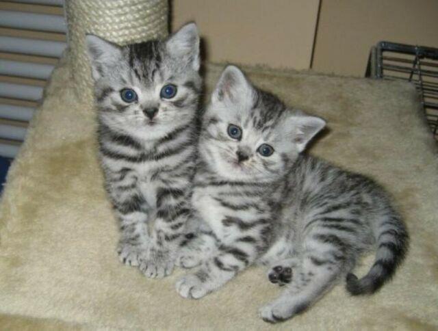 Regalo gattini british shorthair disponibili